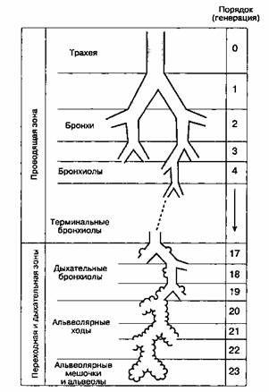 Мал. 22-1. Дихотомічне галуження дихальних шляхів. (З дозволу. З: Weibel E. R. Morphometry of the Human Lung. Springer-Verlag, 1963.)