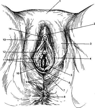 Зовнішні та внутрішні статеві органи