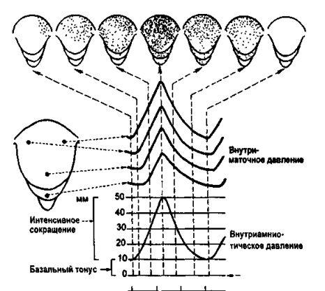 Періоди пологів. Зміни в матці під час пологів
